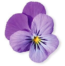 viola toma Plaisentif